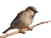 House Sparrow on branch, isolated on white Stock Photography