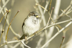 House Sparrow on branch, Passer domesticus Stock Images