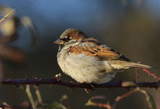 House Sparrow on branch Stock Image