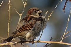 House Sparrow on branch Royalty Free Stock Photos