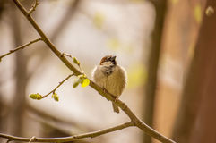 House sparrow on a branch Royalty Free Stock Photos