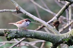 House Sparrow on a branch. Stock Photography