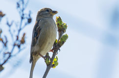 House sparrow on a branch Royalty Free Stock Image