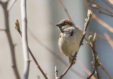 House sparrow on a branch Stock Images
