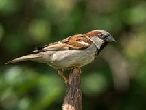 House sparrow on branch tip. House sparrow male perched on the tip of a branch Royalty Free Stock Image