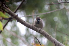 House sparrow on branch Royalty Free Stock Photo