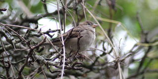 House sparrow on branch Royalty Free Stock Photography