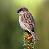 House sparrow on a branch of a tree Stock Photo