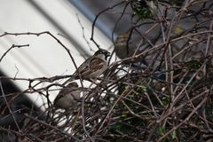 House sparrow in the Netherlands Royalty Free Stock Images