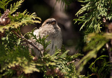 House sparrow in cedar tree Royalty Free Stock Photos