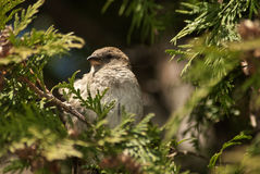 House sparrow in cedar tree Royalty Free Stock Images
