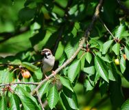 A house sparrow on a cherry branch. The house sparrow, Passer domesticus, sits on a branch of cherry stock photography