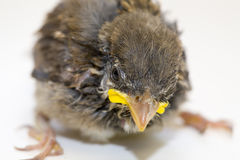 House Sparrow Chick Royalty Free Stock Image