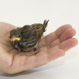 House Sparrow Chick Stock Photography
