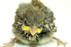 House Sparrow Chick Close Up Stock Photography