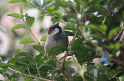House sparrow close Royalty Free Stock Images