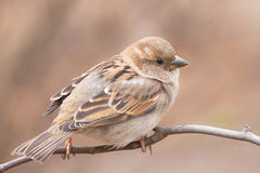 House sparrow at close range Stock Photography