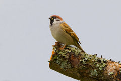 House sparrow closeup profile portrait Royalty Free Stock Image