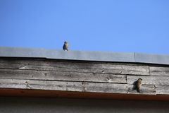 House Sparrow Couple On Roof Royalty Free Stock Photos
