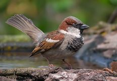 House sparrow courtship show off with lifted tail. House sparrow courtship display with open tail stock photo