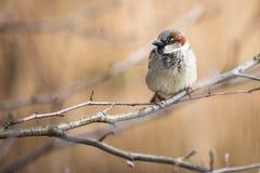 House Sparrow Stock Photography