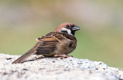House Sparrow Detail. Close up shot of a house sparrow bird on concrete wall Stock Photography
