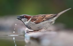 House sparrow drinking water with fallen drops stock image