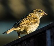 House Sparrow early evening Stock Photo