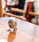 House sparrow eating leftover bread on a  restaurant table Stock Photo