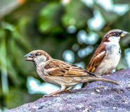 House Sparrow. Eye lavel Shot of  House Sparrow male Stock Image