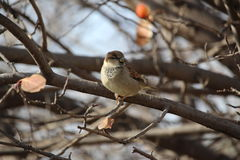 House sparrow in fall at Moose Jaw. House sparrow in the fall at Moose Jaw Stock Image