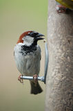 House sparrow on feeder Royalty Free Stock Photo