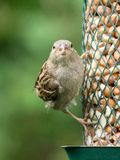 House sparrow on feeder Royalty Free Stock Image