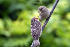 House Sparrow Feeding Baby Royalty Free Stock Photo