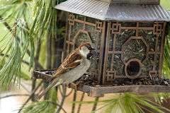 House Sparrow Feeding at Brid Feeder Stock Images