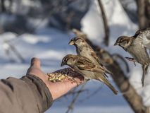 House sparrow feeding on hand Stock Image