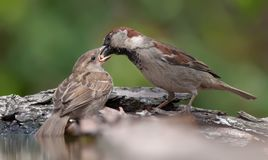 House sparrow feeds his child from beak to beak stock photography