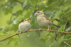 House sparrow feeding in the wild Royalty Free Stock Image