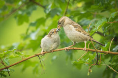 House sparrow feeding in the wild Stock Image