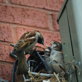 House sparrow feeds his babies Royalty Free Stock Photos