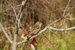 House Sparrow Female. Perched On Branch In Morning Sun Royalty Free Stock Photo