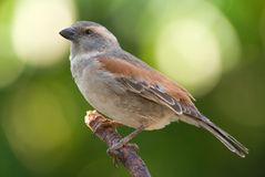 House sparrow female. House sparrow adult breeding female stock image