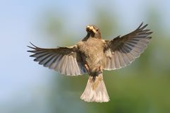 House Sparrow female in flight near her nest with food in beak stock images