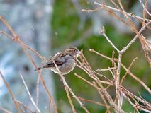 House Sparrow - Female - Winter - Lofoten Islands royalty free stock photography