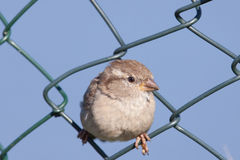 House Sparrow in a fence Stock Photo