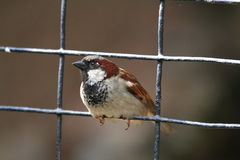 House sparrow on a fence Royalty Free Stock Photos