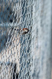 House Sparrow on fence Stock Image