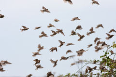 House Sparrow Flock Landing in Hedge Royalty Free Stock Photos