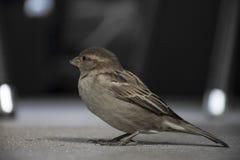 House sparrow on the floor. Royalty Free Stock Photos