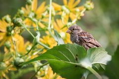 House Sparrow In Flowering Cup Plant Stock Photography
